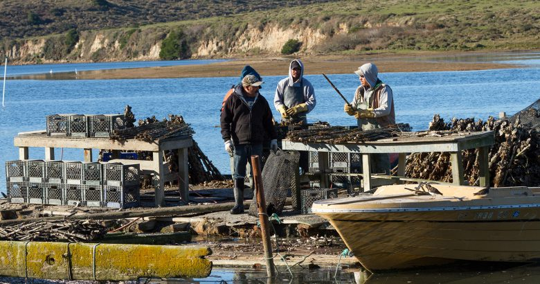 Replanting effort aids local oyster farmers